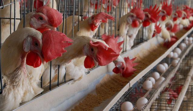 Poultry farm india business plan